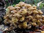 Honey Fungus (Armillaria mellea)